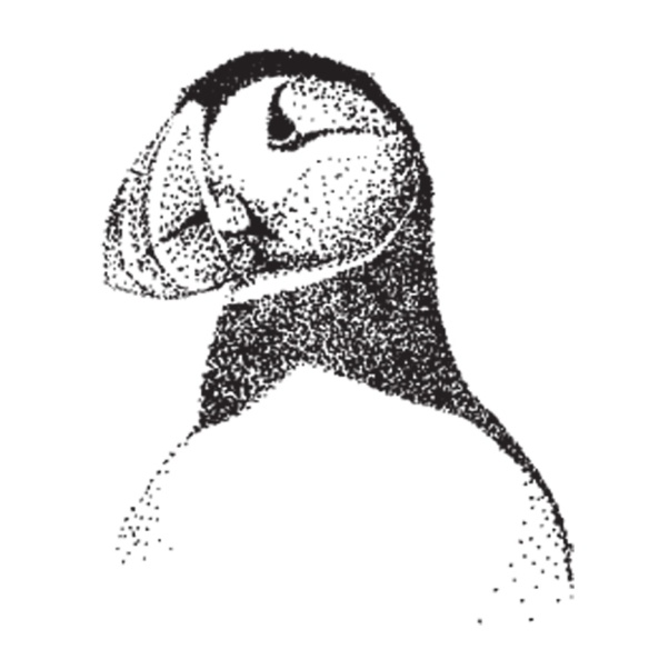 Pen and Ink puffin illustration